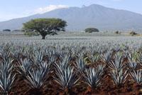 Plantáž agace, Jalisco, Mexiko