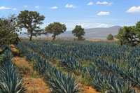 Plantáž s modrou agave